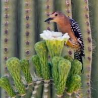 gilawoodpecker2008_02