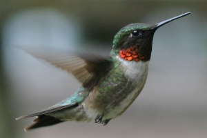 hummingbird-male